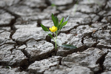 Blume Kämpft Sich Durch Trock...