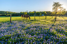 Two Horses Feeding On Young Green Grass With Bluebonnets In The Floorground During Sunset