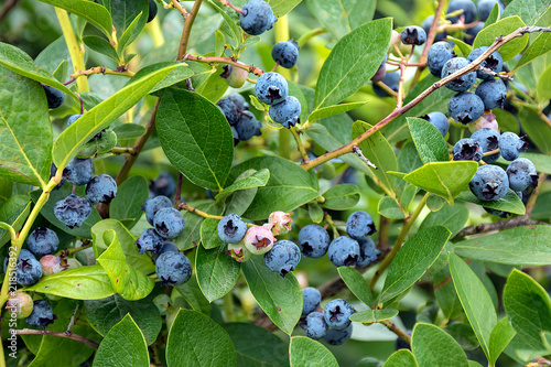 close up of blueberry crop on bush