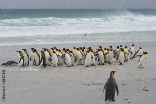 Photo Large group of King Penguins (Aptenodytes patagonicus) come ashore after a short dip in a stormy South Atlantic at Volunteer Point in the Falkland Islands