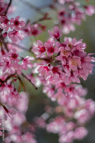 Poster Rose Background with blossom flowers, This is not the type of cherry blossoms often seen. Its scientific name is Prunus cerasoides, it grow in East Asia and South Asia