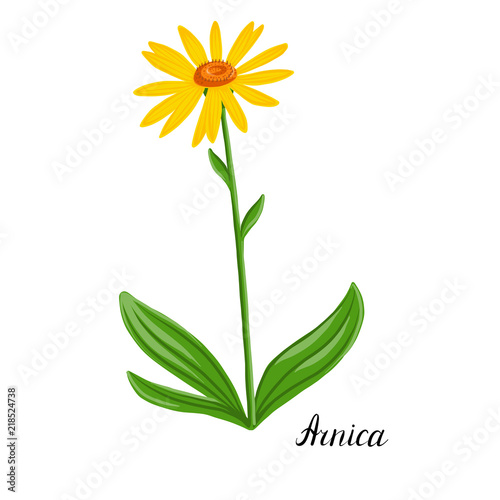 Photo vector drawing plant of Arnica