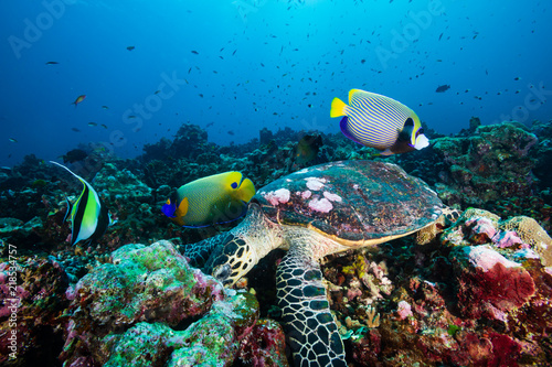 A Hawksbill Sea Turtle surrounded by tropical fish feeding on a coral reef #218534757