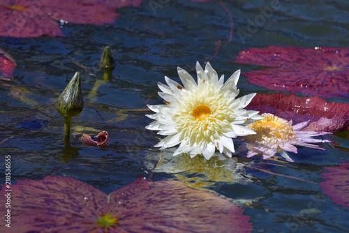 Deurstickers Waterlelies 蓮の花