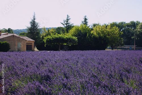 Poster Prune Lavender Fields. Provence, France