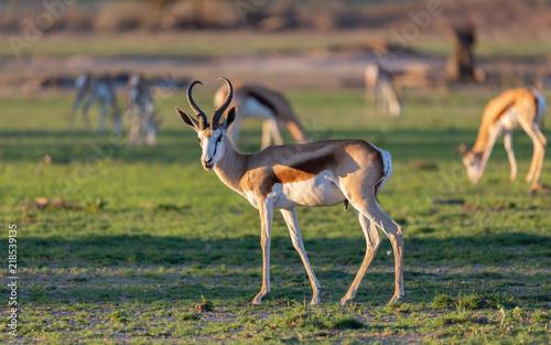 Springbok Ram Kalahari