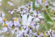 Pine White Butterfly (Neophasia Menapia) Gathering Pollen In Alpine Wildflowers In Colorado