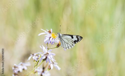 Vászonkép Pine White Butterfly (Neophasia menapia) Gathering Pollen in Alpine Wildflowers