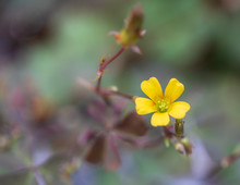Wood Sorrel Flower With Blurre...