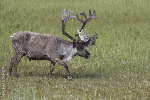 Photo  large male of the reindeer that walks through the marshy tundra