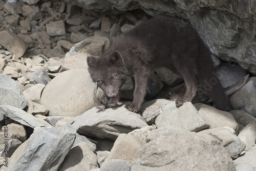 Fotografia  Puppy of the Commanders blue arctic fox that chews the northern fulmar feathers