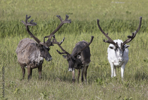 Photo  Three large reindeer males standing on a marshy tundra on a summer day