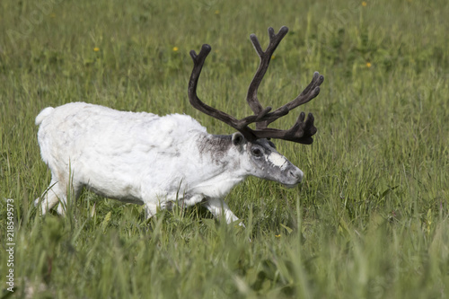 Photo  White male Reindeer walking in a marshy meadow