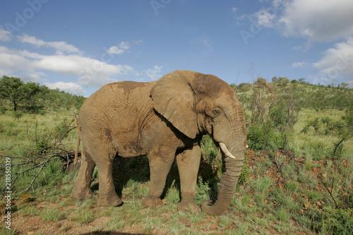 Canvas Prints Elephant Elephant