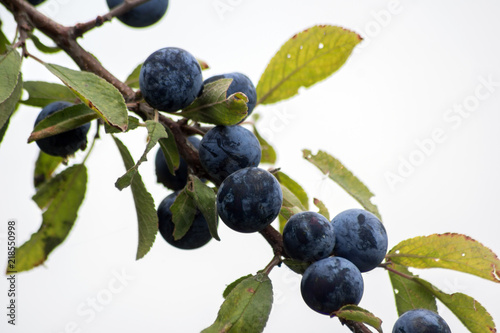 Photo  The blue sloes (Prunus spinosa)