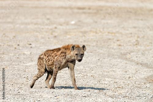 In de dag Hyena A lone Spotted Hyena leaves a waterhole, Etosha National Park, Namibia.