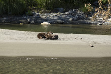 River Otters On The Bank Of The Rogue River In Oregon