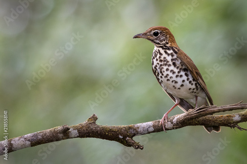 Fototapeta A perched wood thrush photographed in Costa Rica