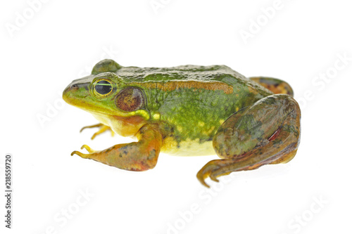 Tuinposter Kikker Frog isolated on a white background