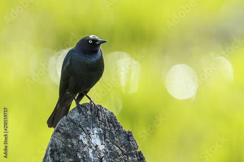 Brewer's blackbird on a wooden post. Wallpaper Mural