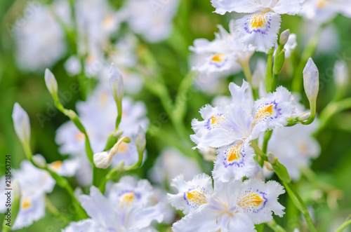 Iris japonica in soft focus, beautiful Iris japonica in Japan, Spring background and beautiful natural scenery Fototapet