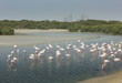 Flamingo's at a Nature Reserve in Dubai