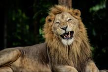 Aggressive Male Lion