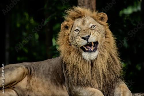 Fotobehang Leeuw aggressive male lion