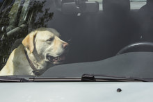 A Yellow Labrador Dog Sits In ...