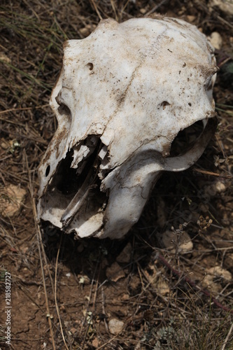 skull, animal, bone, dead, death, head, nature, skeleton, mammal ...