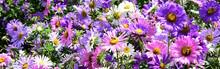 Blütenmeer, Banner, Astern Im Sommerbeet