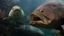 The Giant Grouper Fish In The ...