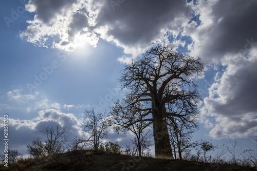 Baobab tree landscape in Kruger National park, South Africa ; Specie Adansonia digitata family of Malvaceae