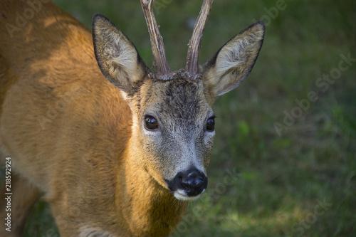 Fotobehang Ree Roe deer in forest - Capreolus capreolus close up