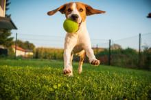 Dog Beagle Purebred Running Wi...