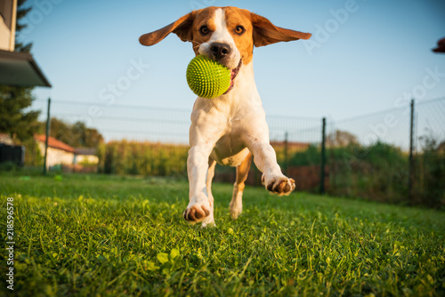 Dog beagle purebred running...