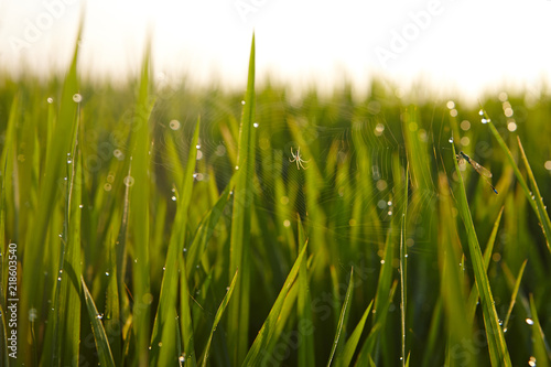 Photo View of rice paddy field in the morning