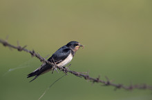 Barn Swallow (Hirundo Rustica) Juvenile Getting Fed On Barbed Wire.