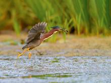 Green Heron Caught A Fish