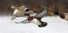 Wood Duck (Aix Sponsa) Taking ...