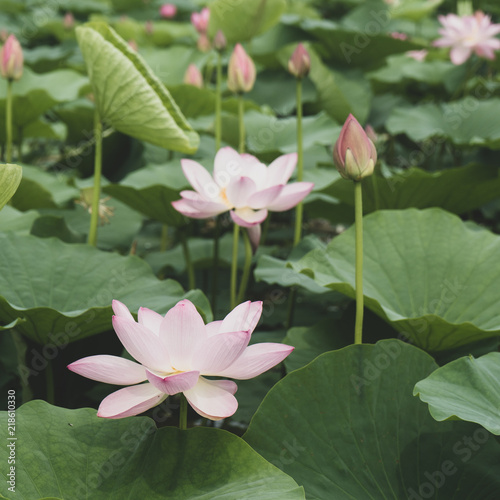 Staande foto Lotusbloem The beautiful bud of a pink lotus flower in a pond. Square.