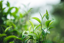 Tea Leaves Assam Tea Green In Nature