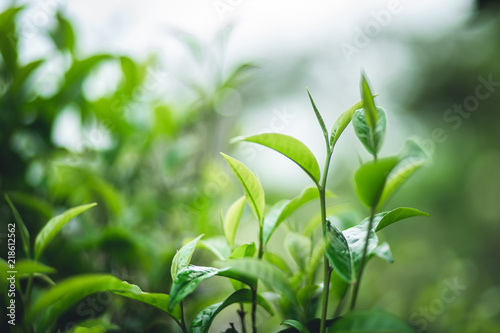 tea leaves Assam Tea Green in nature Canvas Print