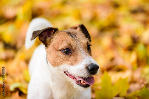 Fototapeta Autumnal portrait of cute Jack Russell Terrier dog puppy obraz na płótnie
