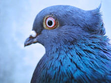 Head Of The Pigeon