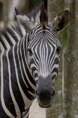 Fototapeta na wymiar Zebra on dark background. Black and white image