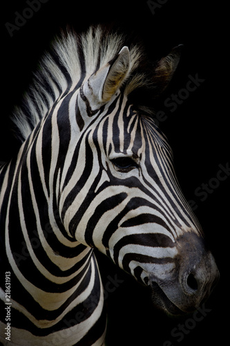 Photo  Zebra on dark background. Black and white image