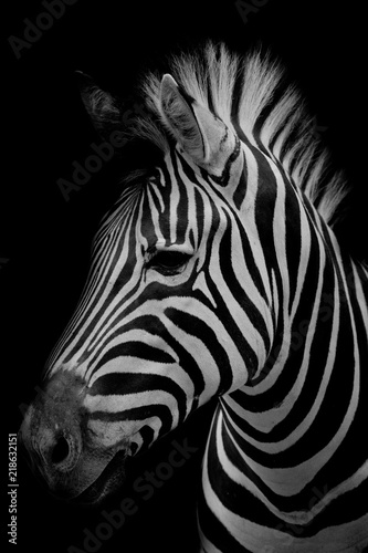 Fotografía Zebra on dark background. Black and white image