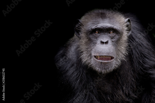 Wallpaper Mural profile of a chimpanzee staring thoughtfully with room for text on a black backg