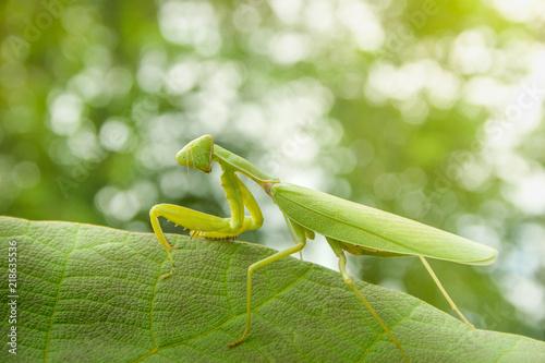 Fototapeta  mantis or  praying mantis with leaf on bokeh background.